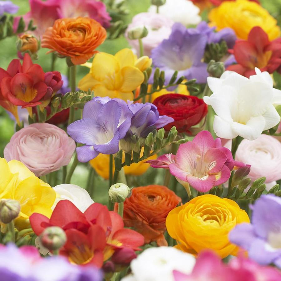 25 Count Freesia And Butter Cup Bulbs Lowes Com In 2020 Spring Plants Ranunculus Bulb Flowers