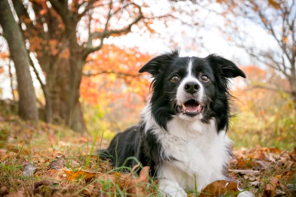 6 Best Border Collie Dog Food Plus Top Brands For Puppies