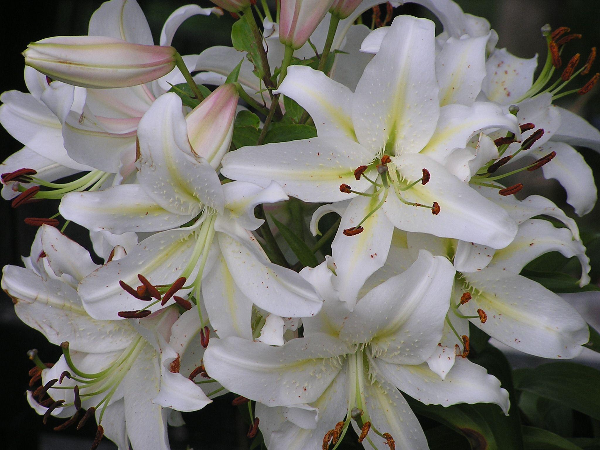 White Casablanca Oriental Lilies In My Garden Oriental Lily Lily Oriental
