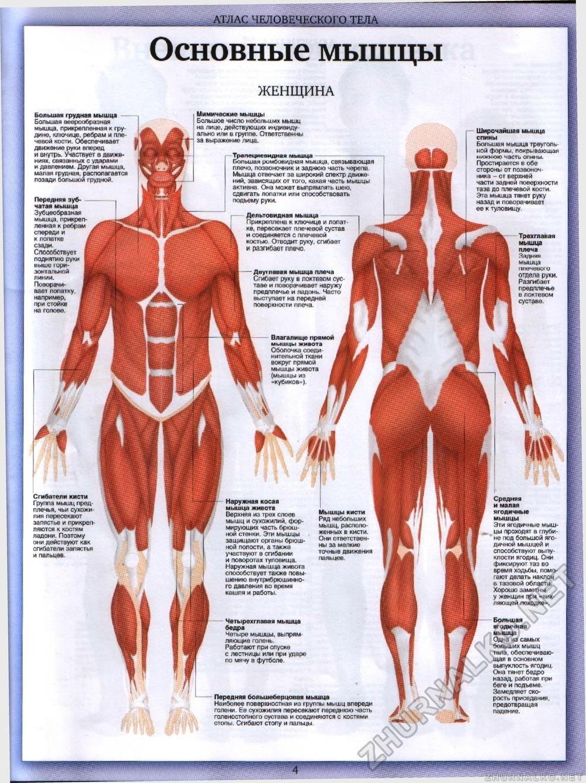 мышцы человека в картинках будущей