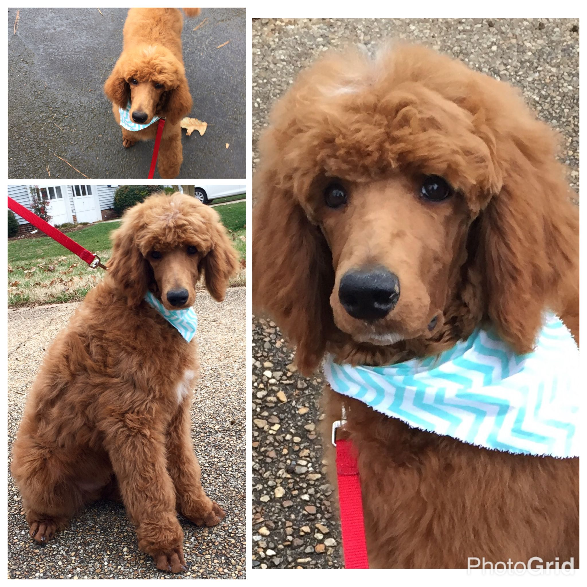 Dexter Went To The Groomers Red Standard Poodle Puppy Puppies