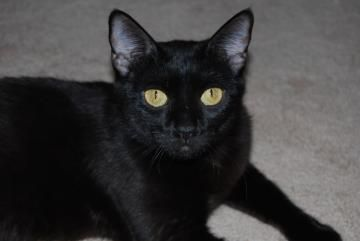 Juniper Ann Perkins Z4 Is A Domestic Shorthair Available For