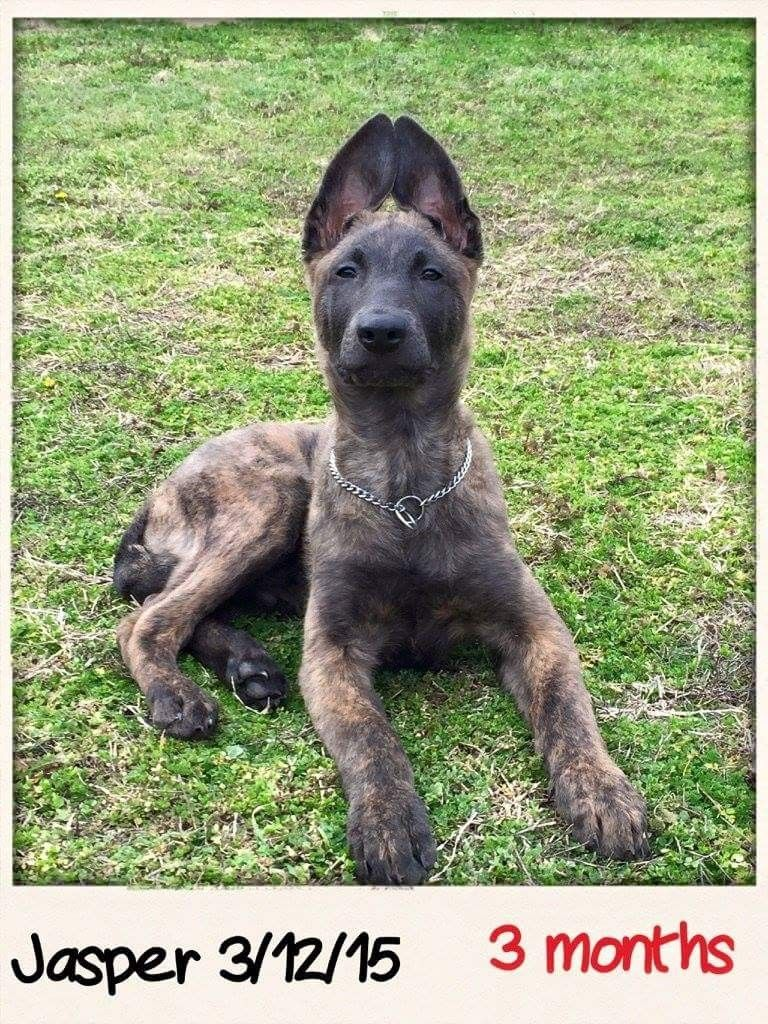From 187kennels Dutch Shepherd And Belgian Malinois Dutch