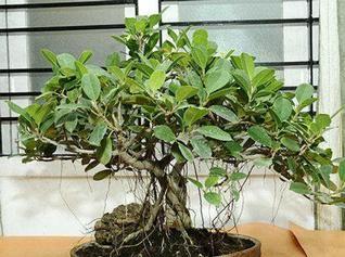Coffee Tree Bonsai Bonsai Coffee Tree Plants