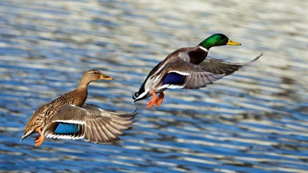 female mallard duck behavior