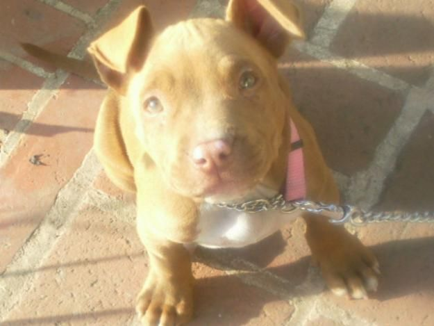 11 Week Old Red Nose Pitbull Pitbulls Pitbulls Pitbull