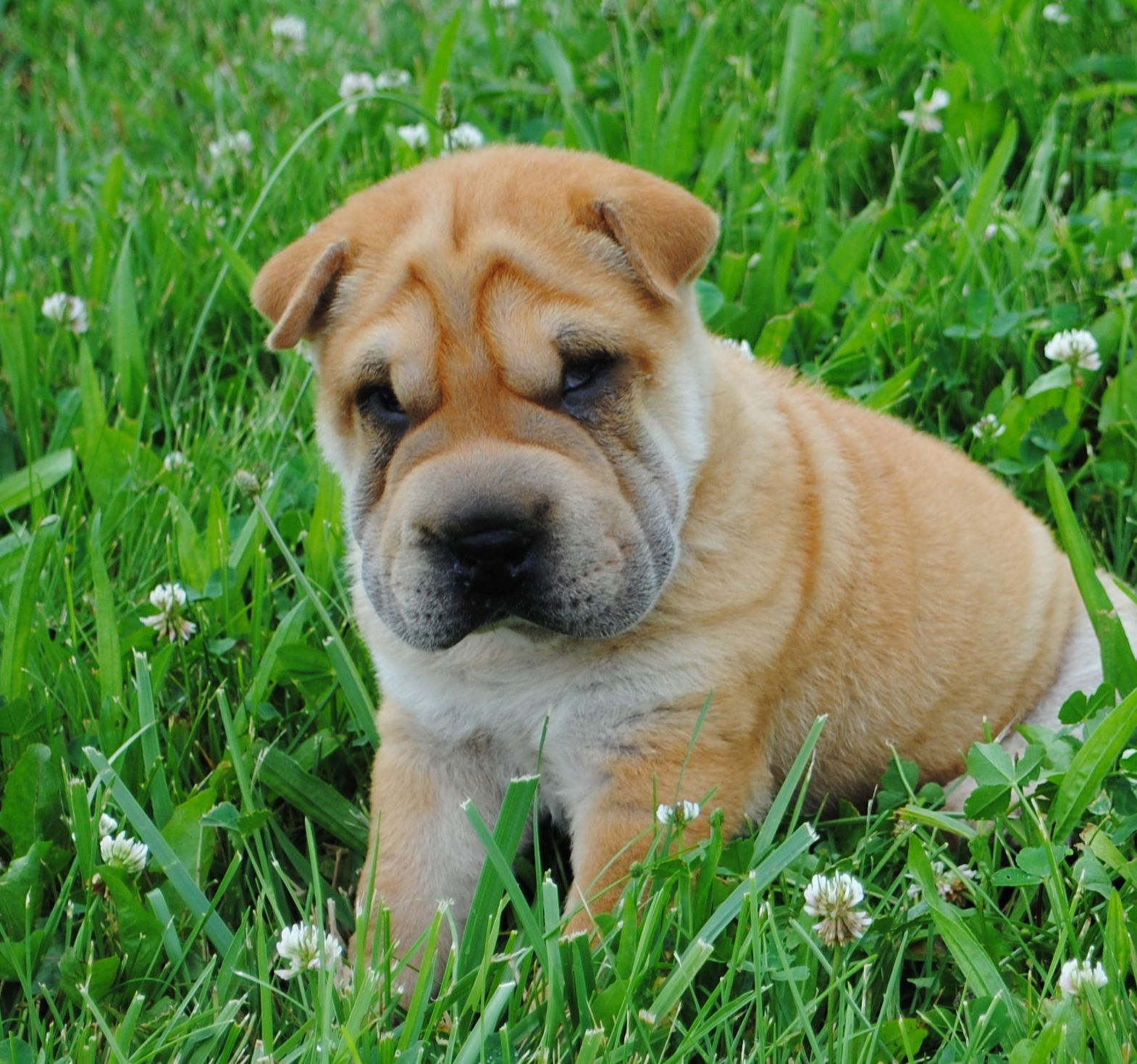 8 Week Old Mini Shar Pei Puppy Shar Pei Can Have Serious Health