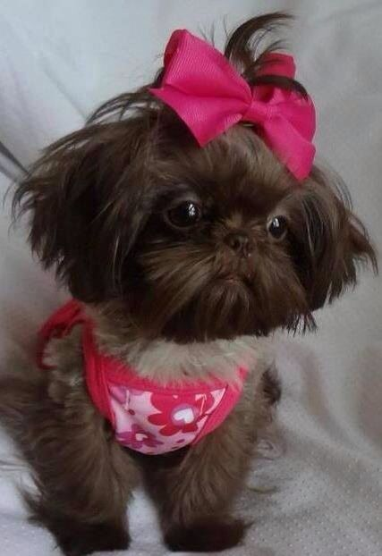Dolly Shih Tzu