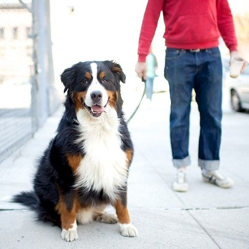 Hall Bernese Mountain Dog N 4th Roebling St Brooklyn The Dogist Bernese Mountain Dog Dogs Bernese Mountain