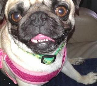Teensy Pug Rescue Of Austin Adopt A Pug Pug Rescue Pugs For