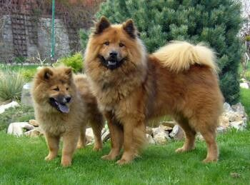 Eurasier With Images Eurasier Dogs Dog Friends