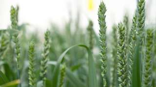 Scientists apply for GM wheat trial in UK - BBC News