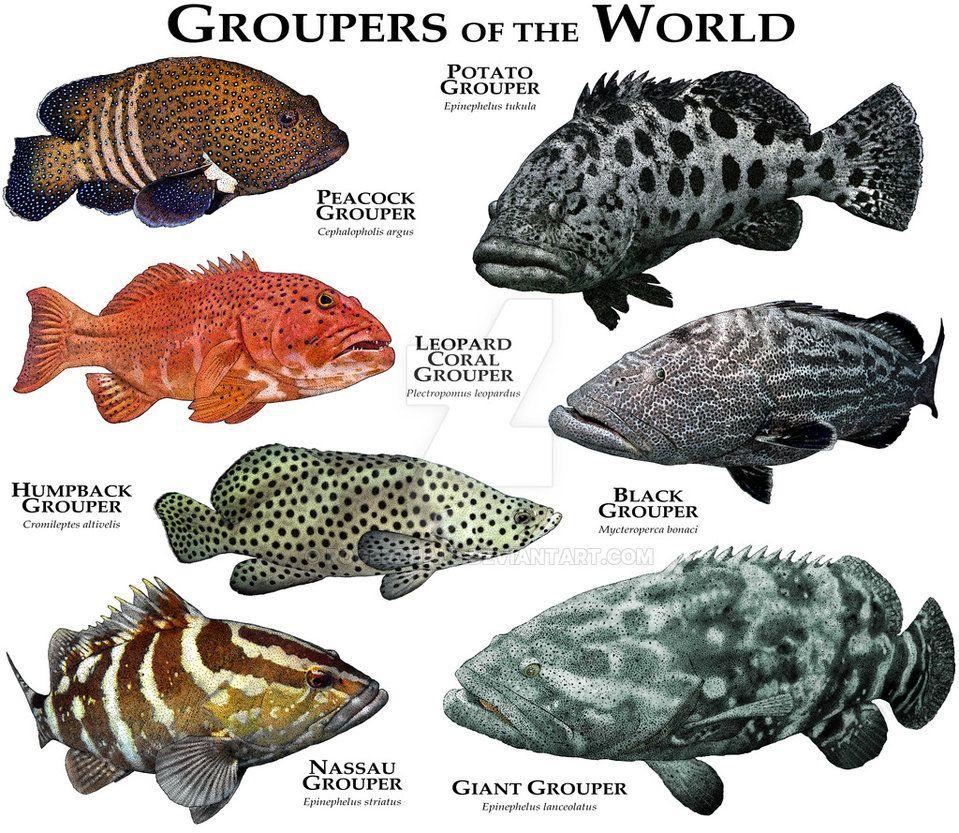 Groupers Of The World Grouper Fish Marine Animals Fish Chart