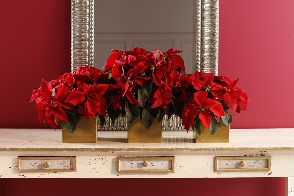 Give your Poinsettias a good home by creating a lovely planter display.