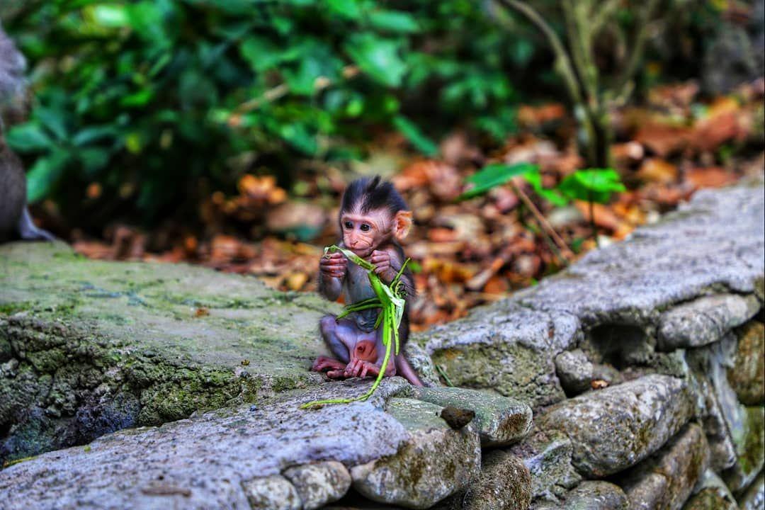 Monkey love  although I'm not sure the last one got the theme #ubud #ubudbali #indonesia...   Monkey love  although I'm not sure the last one got the theme #ubud #ubudbali #indonesia #indonesia_photography #bali #bali #balilife #baligasm #thisisbali #balidaily #explorebali #monkey #monkeys #travel #travelgram #travelphotographer #travelphotography #travelblogger #canon #instagood #travelawesome #tlpicks #nakedplanet #ourplanetdaily #bestplacestogo #beautifuldestination #iamatraveler #wanderlust