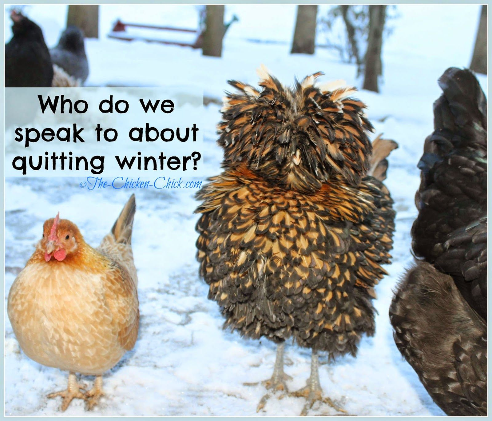 Chickens Fare Much Better In Cold Temperatures Than In Hot