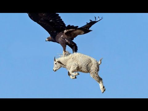 WOW  Burung Elang ini Mampu Angkat Kambing  Anjing Ke