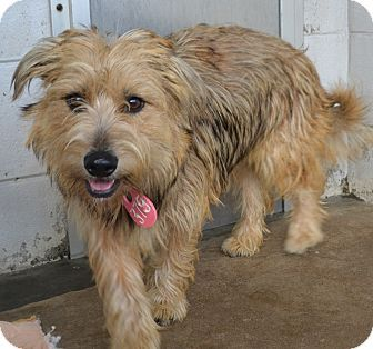 Pictures Of Gretel A Wheaten Terrier Mix For Adoption In Beaumont