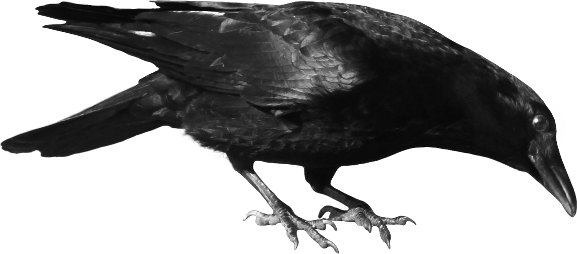 Crow Png Image Crow Image Crow Photos