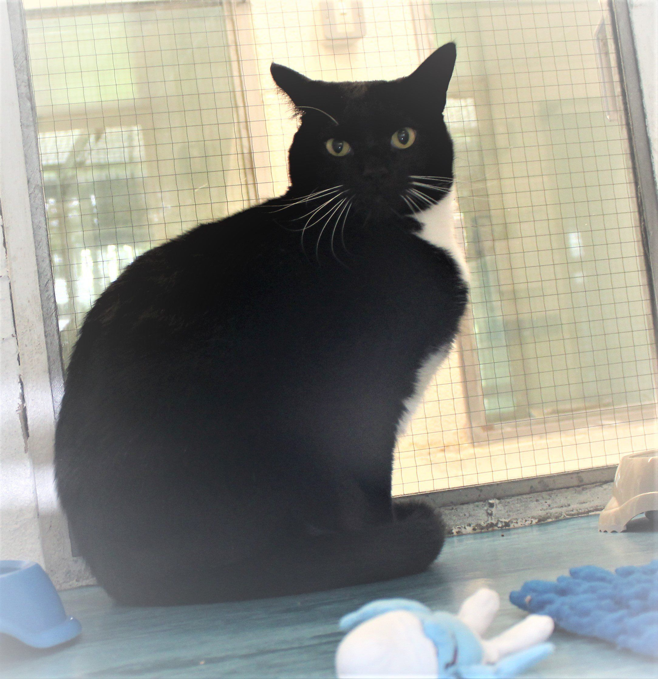 Chico The Good Looking Tuxedo Cat Has Spent 169 Days On The Cats Protection Adoption Centre In Birmingham Uk Please Contemplate Adopting Him Should You Can