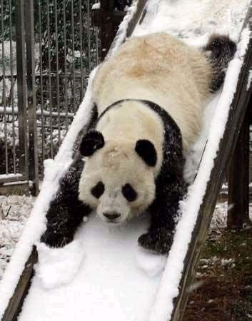 Pandas must improve their slide skills with age! Too cute.