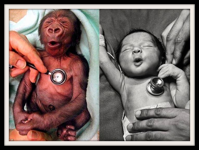 Gorilla Baby Human