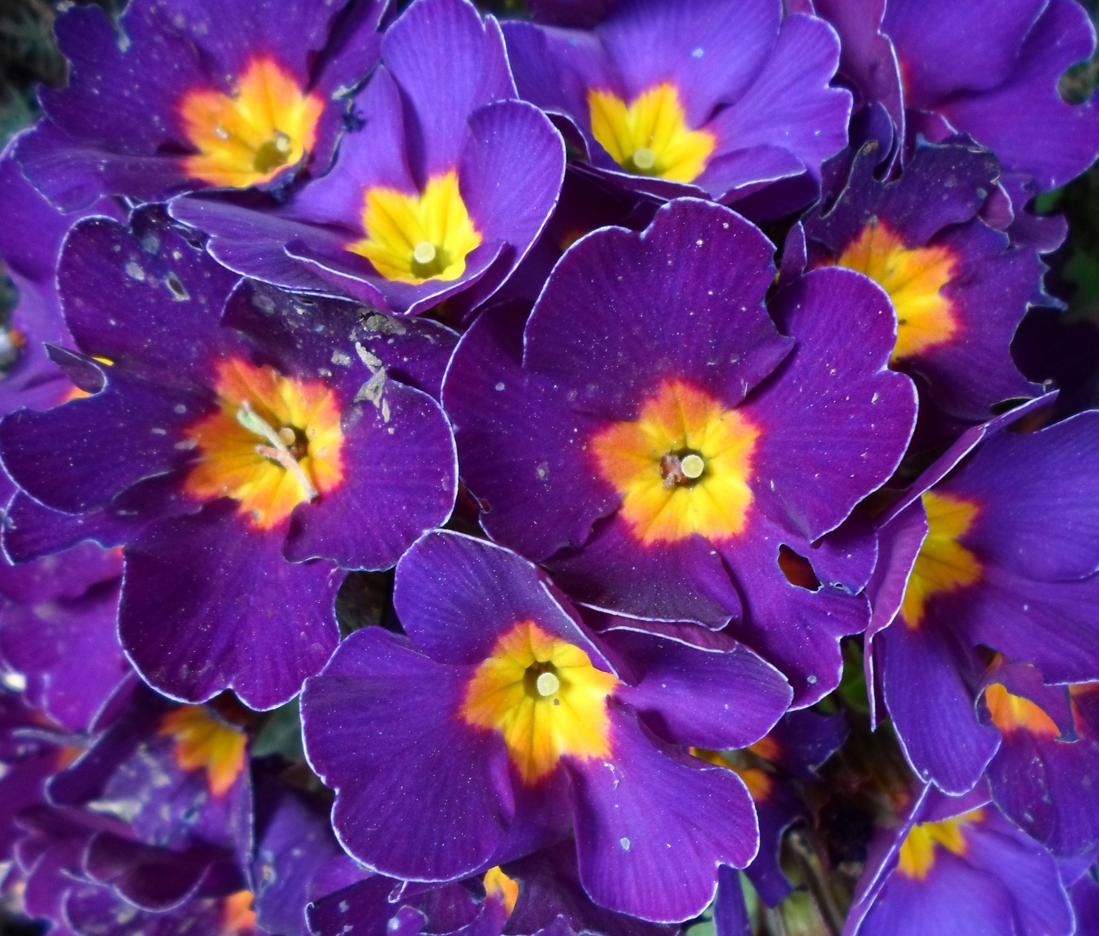 Yellow Purple Flowers Stock Flower Images Pinterest