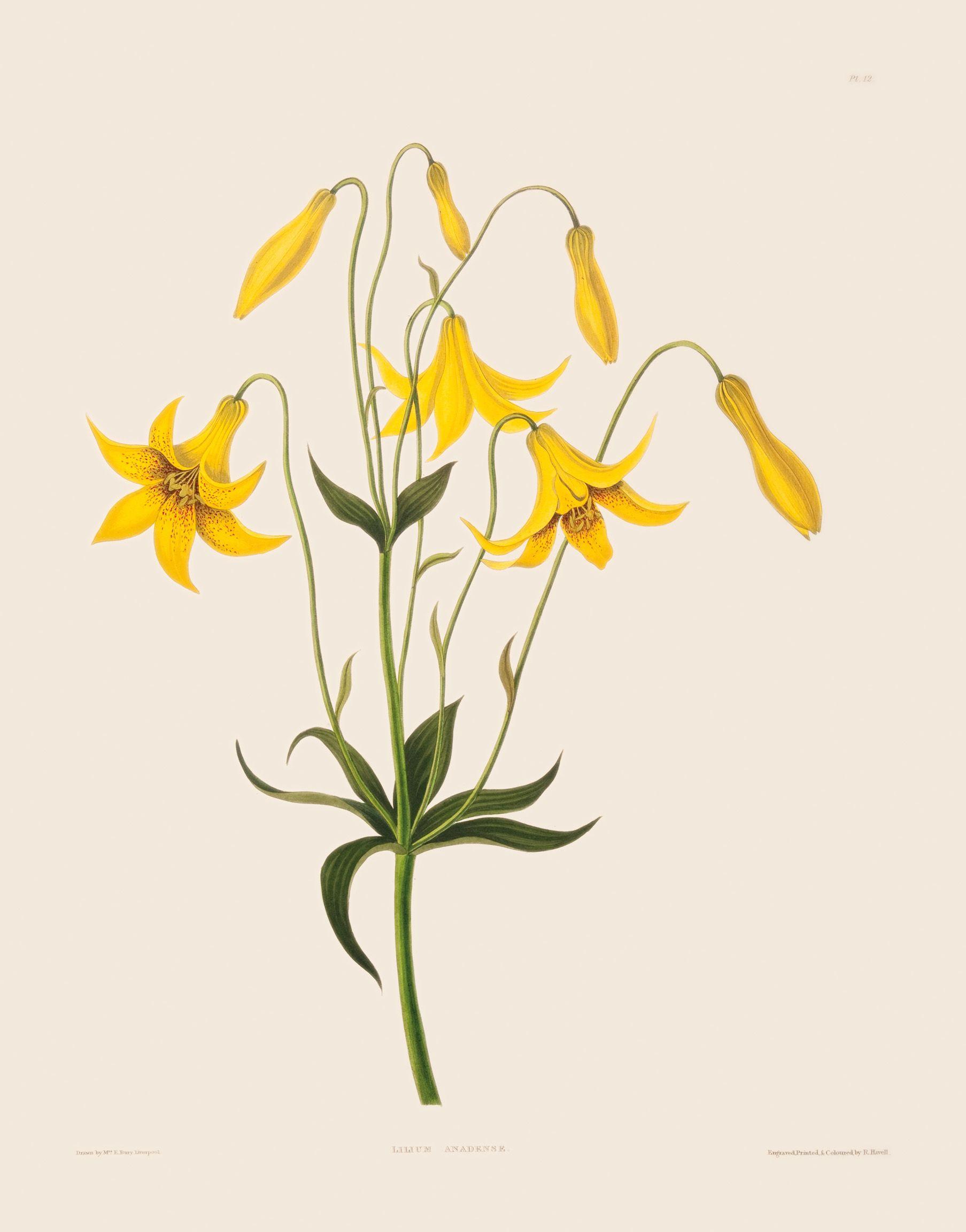 Murals of Lilium Canadense by New York Botanical Garden