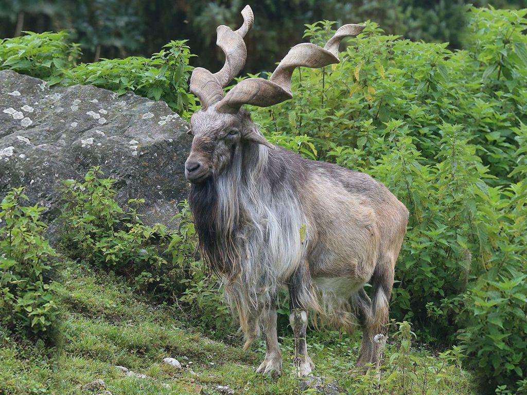 Markhor, the national animal of Pakistan, a large specie