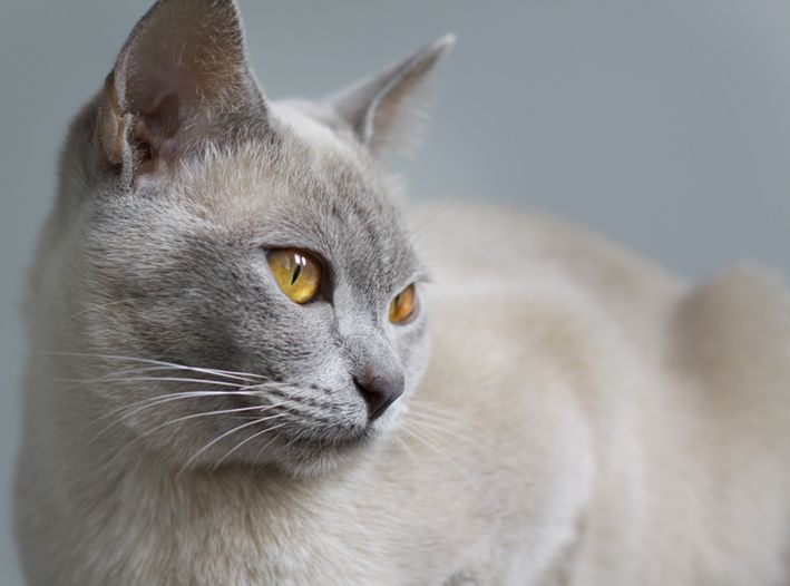 Lilac Burmese Female Burmese Cat Beautiful Cats Cat Breeds