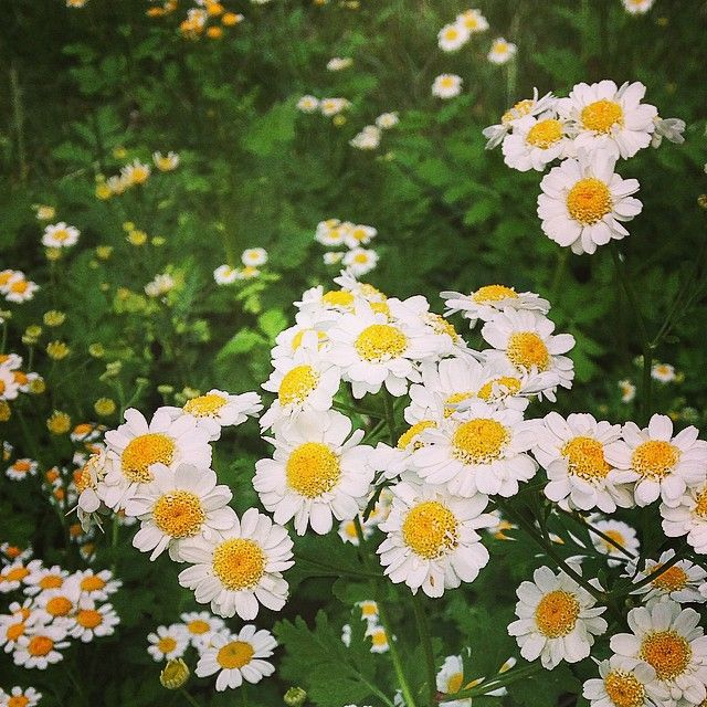 Although A Little Late This Year Our Feverfew Is In Full Swing Such A Sweet Filler Flower Please Return For Us Next Year Tanac In 2020 Flower Farm Feverfew Flowers