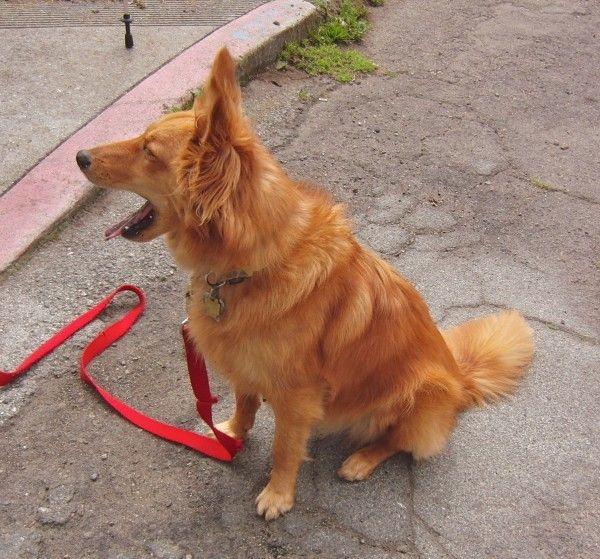 Dog Of The Day Lizzy The Shetland Sheepdog Golden Retriever Mix