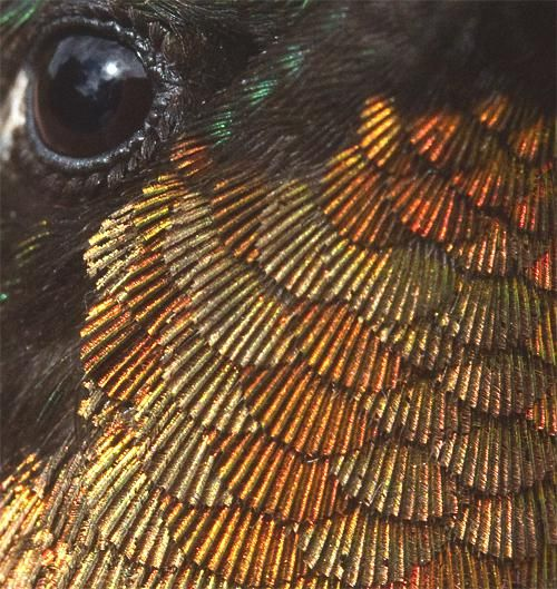 Closeup Of A Male Hummingbird The Feathers Look Like Scallops - Photographer captures amazing close up photos of hummingbirds iridescent feathers