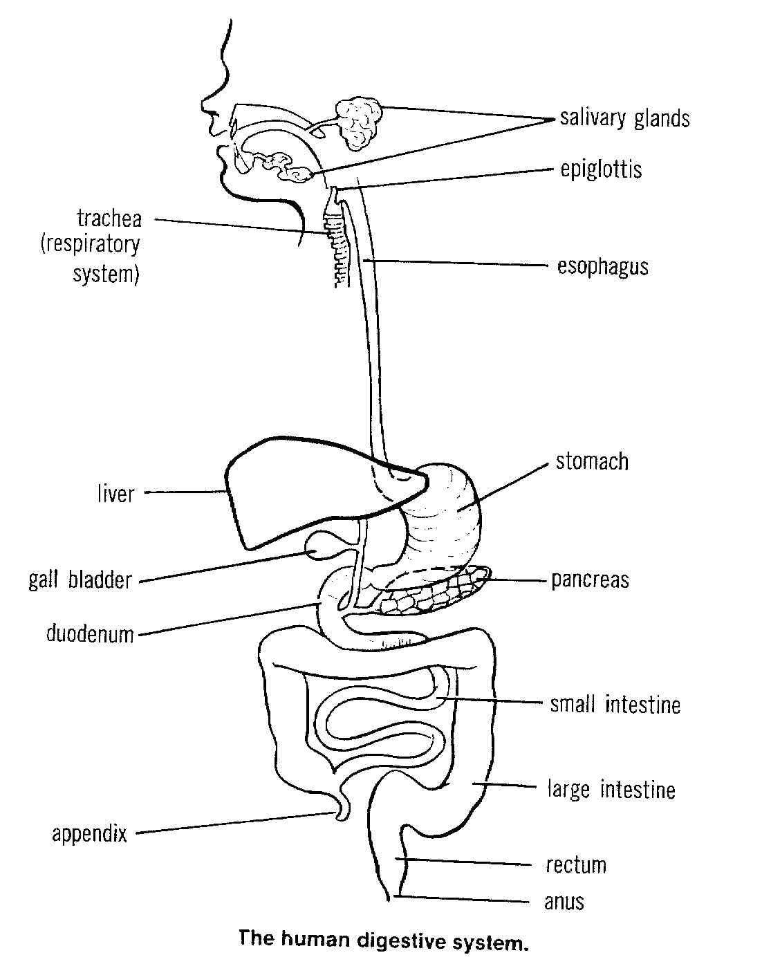 Digestive System Coloring Worksheet Free Coloring Pages