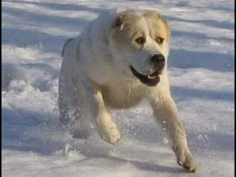 Нападение собаки породы АЛАБАЙ на человека! - YouTube ...