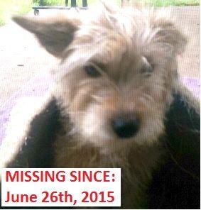 Lost Dog Yorkshire Terrier Yorkie Blue Mound Tx United