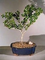 Image Result For Dwarf Pagoda Japanese Holly Bonsai Care And Growing Bonsai Bonsai Care Bonsai Tree