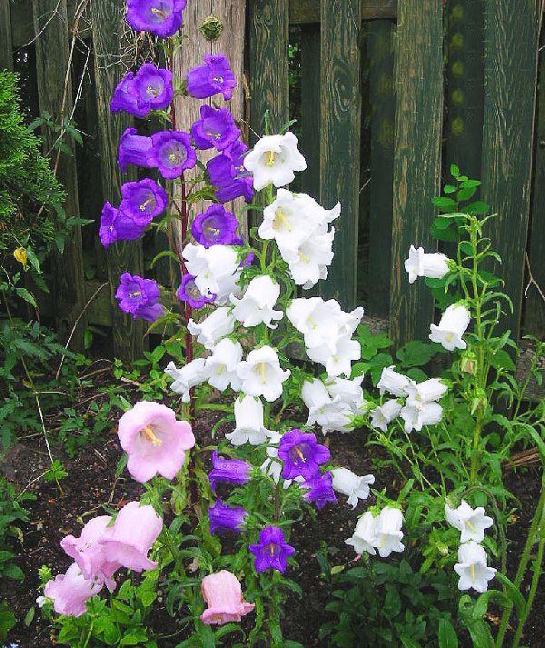 Canterbury Bells Mix 2000 Seeds Cup And Saucer Campanula Medium Calycanthema Campanula Flowers Biennial Plants Campanula