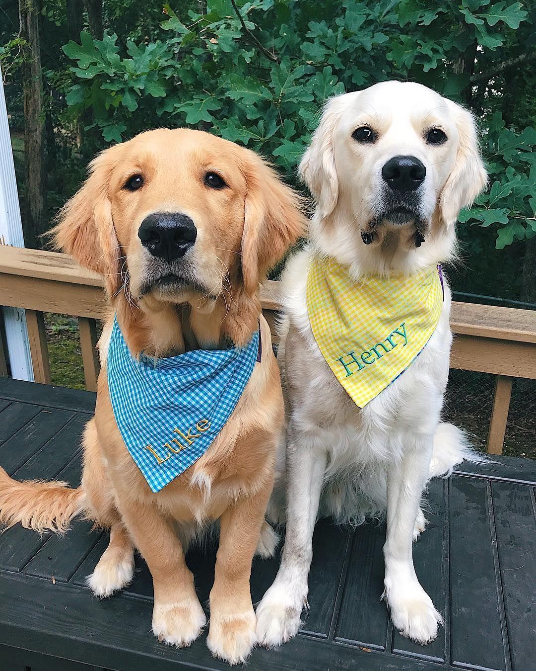 Henry And Luke Cute Animals Labrador Retriever Dog Cute Puppies