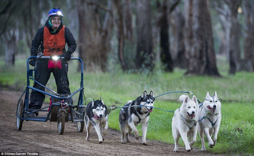 Mongrels Two Wheeled Bikes And Dirt Tracks Australia S Dog Sled