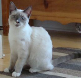 Adopt Tessa Lilac Point Snowshoe Adopted On Baby Animals