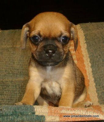 Teacup Puggle Puppies For Sale - Goldenacresdogs com