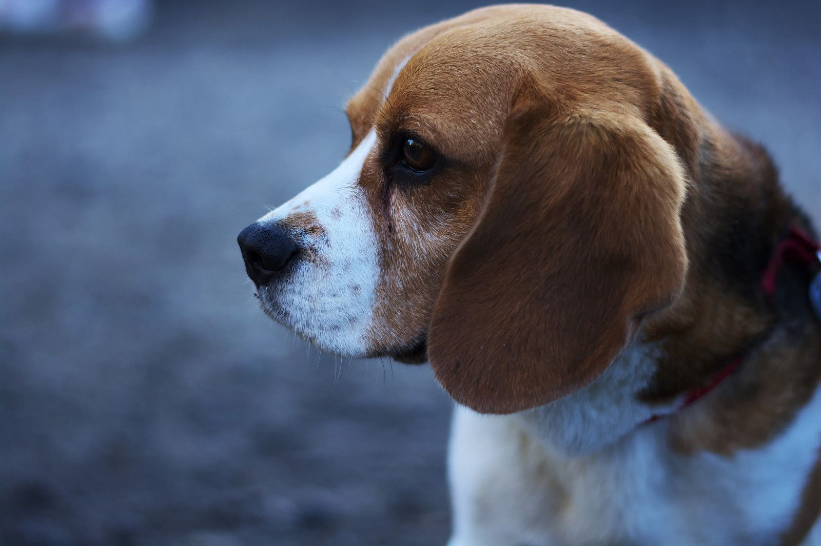 Beagle Breeding Facility For Lab Testing Approved Let S Stop This