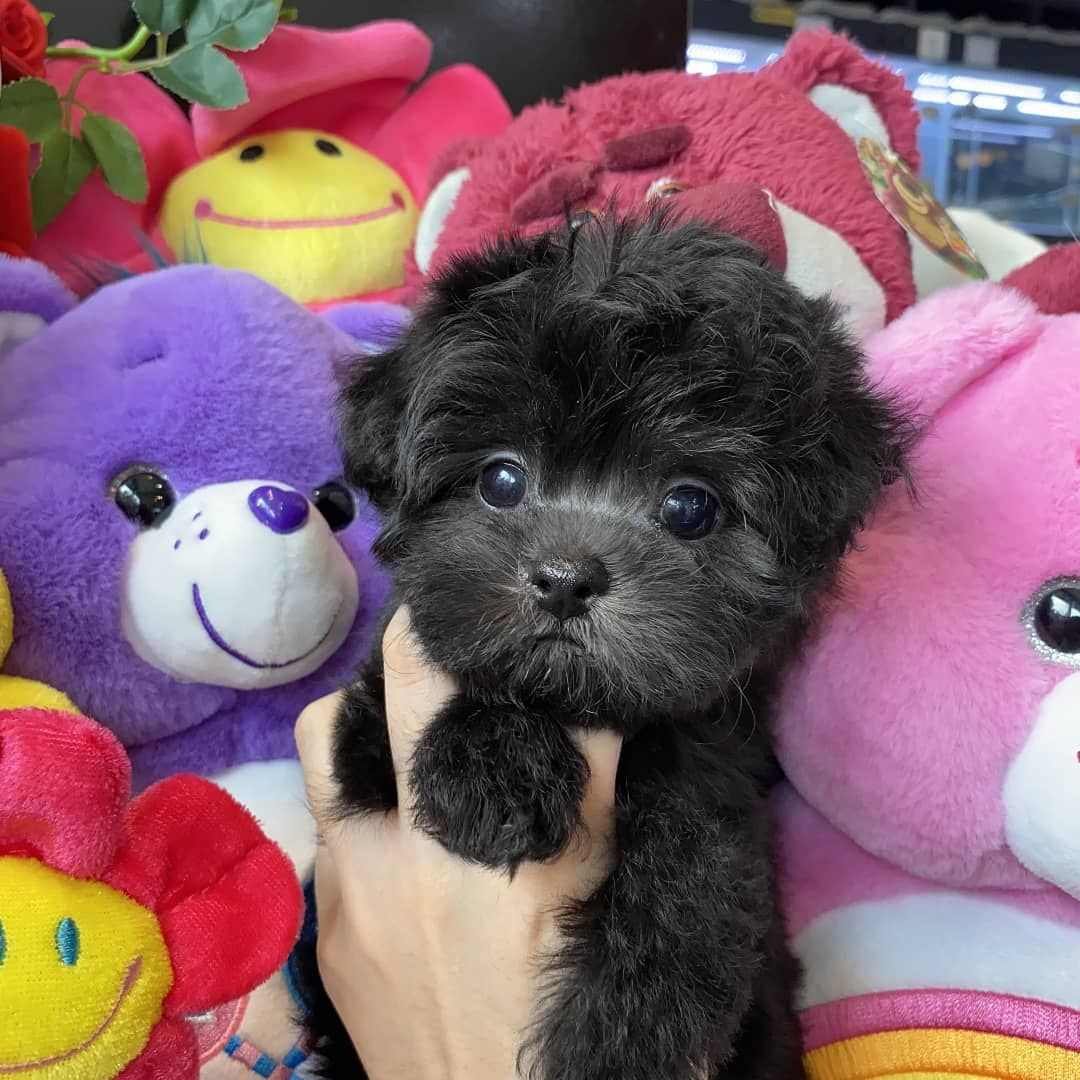 black toy poodle puppies for sale in 2020 Toy poodle