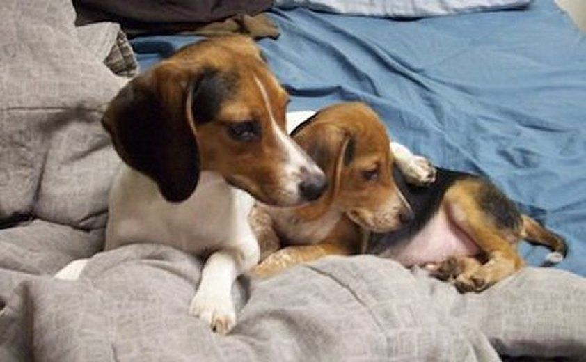Strawberry The Queen Elizabeth Pocket Beagle Left With A
