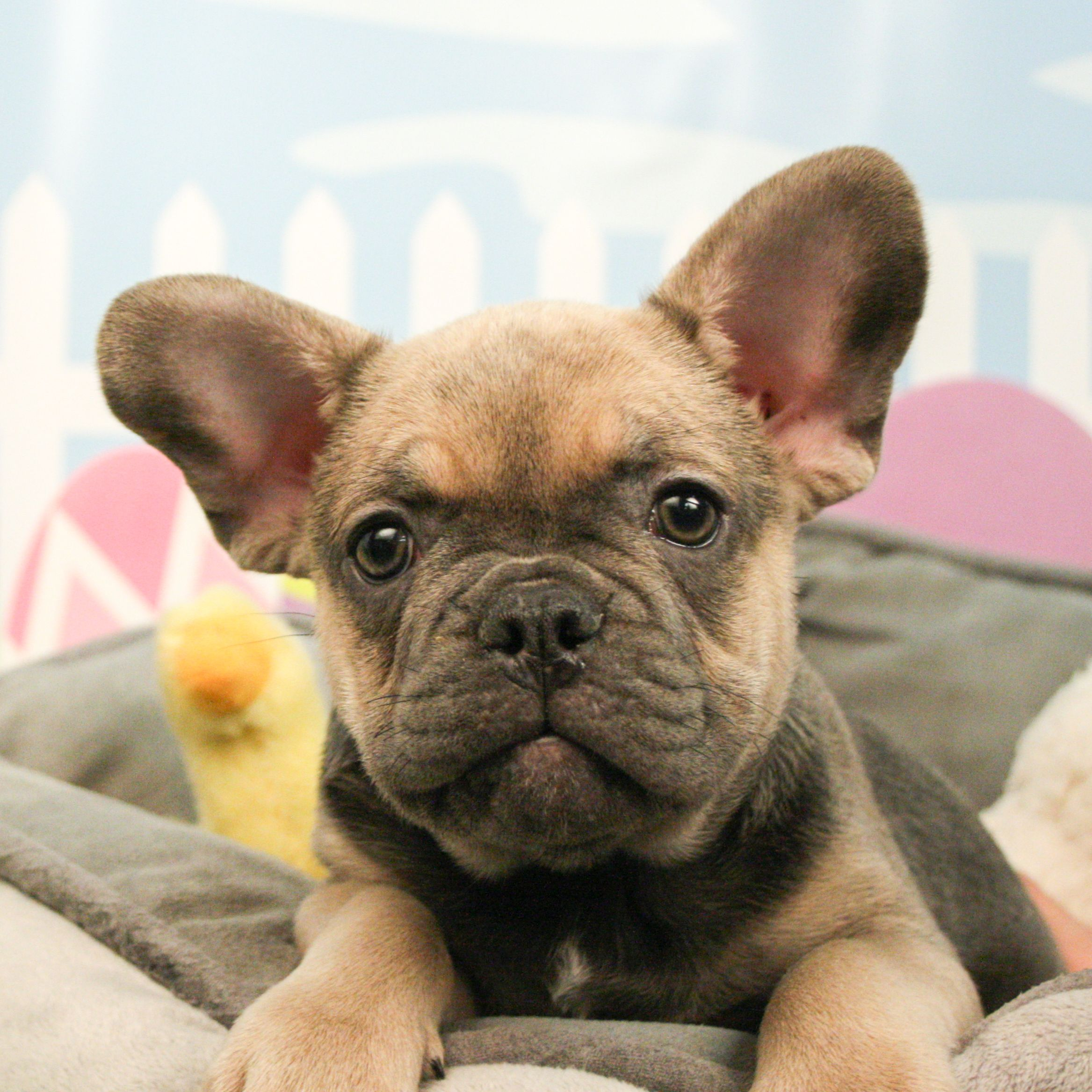 This Frenchie Puppy Is The Epitome Of Cute French Bulldog