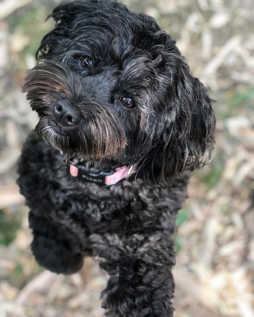 The Cute Schnauzer Poodle Mix Puppy Wants To Play Schnoodle Dog Schnoodle Poodle Mix