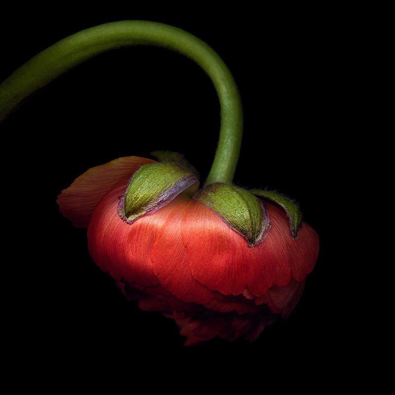 THE RED LANTERN... RANUNCULUS by Magda Indigo on 500px