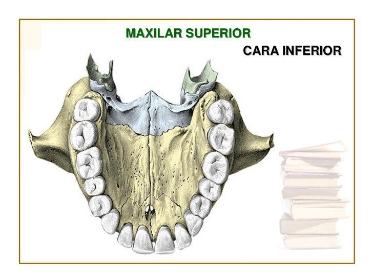 cara inferior del maxilar inferior | Anatomía de la cara | Pinterest ...