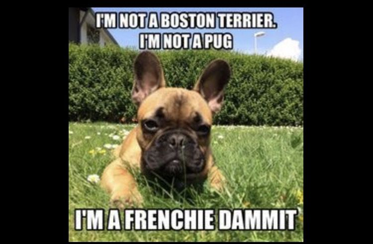 9 Funniest French Bulldog Memes French Bulldog Clothes French